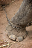 Elephants foot tied to a metal chain Royalty Free Stock Images