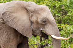 An Elephant`s Gotta Eat. An elephant munches away in Kruger National Park, South Africa Royalty Free Stock Image