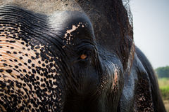 Elephant's half face Royalty Free Stock Photography