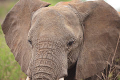 Elephant's head Stock Images
