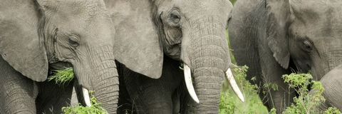 Elephant's head in the wild Stock Images