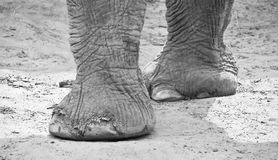 Elephant's legs and feet. Black and white picture Royalty Free Stock Image
