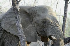 Elephant`s portrait  in the savanna. – South Africa Royalty Free Stock Image