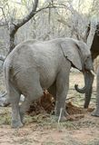 Elephant`s portrait  in the savanna. South Africa Stock Images