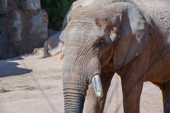 Elephant's Portrait Royalty Free Stock Image