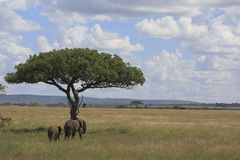 Elephant's in the serengeti Royalty Free Stock Photos