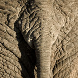 Elephant's skin Royalty Free Stock Photos