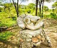 Elephant s Skul. In Natoinal Park Tarangire Tanzania Royalty Free Stock Photography