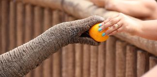 Elephant's Trunk. Royalty Free Stock Images