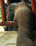 The elephant's trunk. Elephant's trunk put on the floor, begging for a treat Stock Images