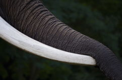 Elephant´s trunk Royalty Free Stock Images