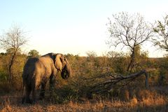 Elephant in the Sabi Sand Stock Photo