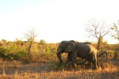 Elephant in the Sabi Sand Stock Photo