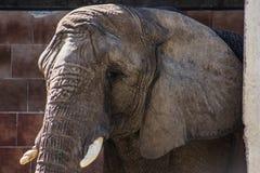 Elephant. Sad looking elephant in a zoo Stock Photo
