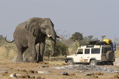 Elephant safari. 4x4 car near a big African Elephant in Botswana stock photo