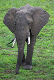 Elephant on Safari, Africa, Zambia Stock Photos