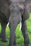 Elephant on Safari, Africa, Zambia Stock Photo
