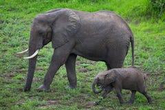 Elephant on Safari, Africa, Zambia Royalty Free Stock Images