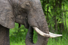Elephant on Safari, Africa, Zambia Stock Image