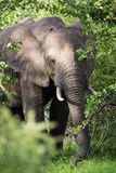Elephant on Safari, Africa, Zambia Stock Images