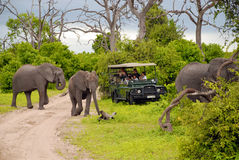 Elephant safari(Botswana). CHOBE, BOTSWANA - JANUARY, 6: Tourists on safari game drive with the elephants on January 6, 2008 in the bush of the Chobe National Royalty Free Stock Photos