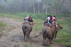 Elephant safari in chitwan national park in nepal. Royalty Free Stock Image