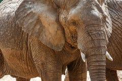 Elephant in Safari. Stock Photo