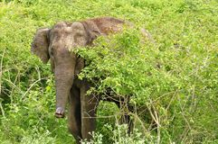 Elephant in safari of India. Elephant hiding behind bush in safari of India Royalty Free Stock Image