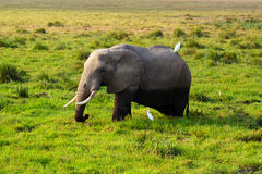 Elephant - Safari Kenya. A big elephant in grass of Amboseli, in Kenya Royalty Free Stock Image