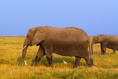 Elephant - Safari Kenya. A big elephant with his baby in the grass of Amboseli, in Kenya Royalty Free Stock Photography