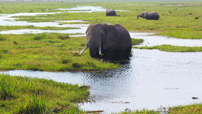 Elephant - Safari Kenya. A big elephant in the water in Amboseli, in Kenya Royalty Free Stock Images