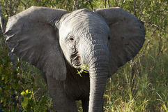 Elephant. On safari in South Africa Royalty Free Stock Images