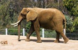 Elephant. At the San Diego Zoos Wildlife Safari Park,California Stock Photography