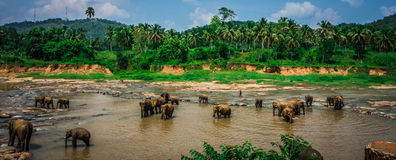Free Elephant Sanctuary In Sri Lanka Royalty Free Stock Images - 45936259