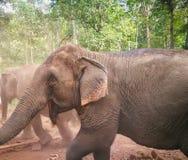 Elephant Sanctuary, Thailand, Chiang Mai Province. Elephant care Royalty Free Stock Photography