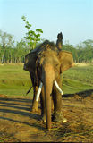 Elephant, Sauraha, Nepal. Indian elephant in Sauraha village, close to Royal Chittawan National Park Royalty Free Stock Photography