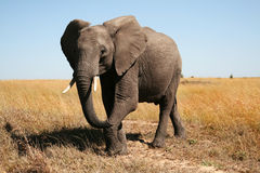 Elephant. In savanna in Kenya, East Africa