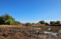 Elephant in savanna near water hole Stock Photo