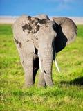 Elephant on savanna. Safari in Amboseli, Kenya, Africa Stock Photos