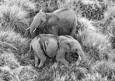 Elephant in the savanna. Shooting from hot air balloon. Africa. Kenya. Tanzania. Serengeti. Maasai Mara. Royalty Free Stock Photo