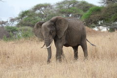 Elephant in the savanna, Tanzania Stock Images