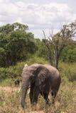 Elephant in savanna. Wild bush of Masai Mara. Elephant in savanna. Wild bush of Masai Mara, Kenya Stock Image