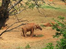 Elephant on savannach Stock Image