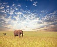 Elephant in savannah Royalty Free Stock Photos