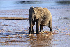 Elephant in the savannah Royalty Free Stock Photography