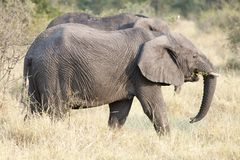 Elephant in savannah of Botswana Stock Photography