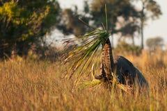 Elephant. In savannah in kenya Stock Images