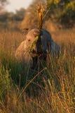Elephant. In savannah in kenya Stock Photography