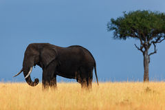 Elephant in savannah, Masai Mara Royalty Free Stock Image