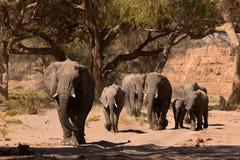 Elephant in savannah in Namibia. Herd of elephants in savannah in Namibia royalty free stock image